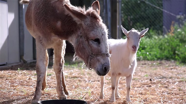 Gambar: Jellybean the burro and Mr. G the goat reunited at an animal sanctuary