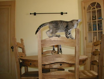 Minnehaha the cat walks on back of wooden chair