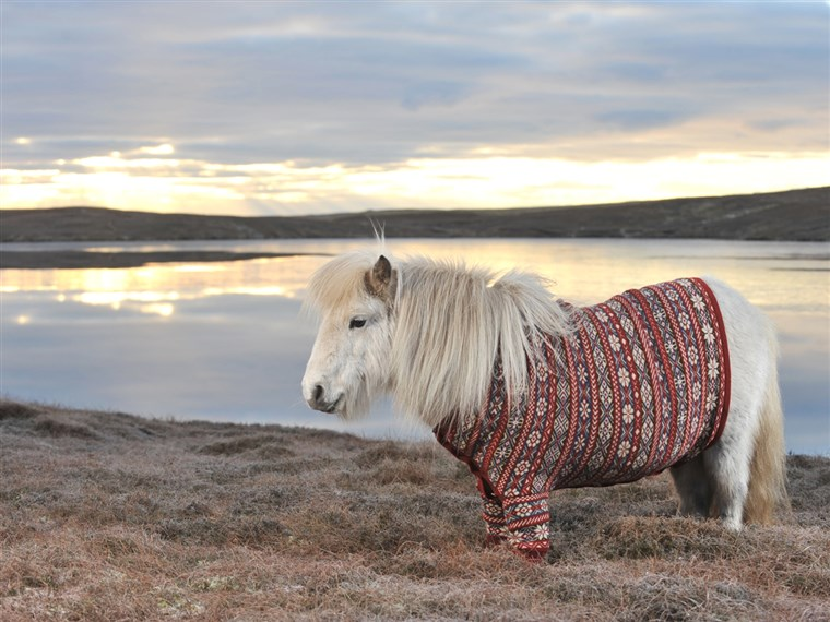 ワーキング it: Fivla the Shetland pony dazzles in a sweater made from the wool of Shetland sheep. Shetland knitter Doreen Brown designed the custom look.