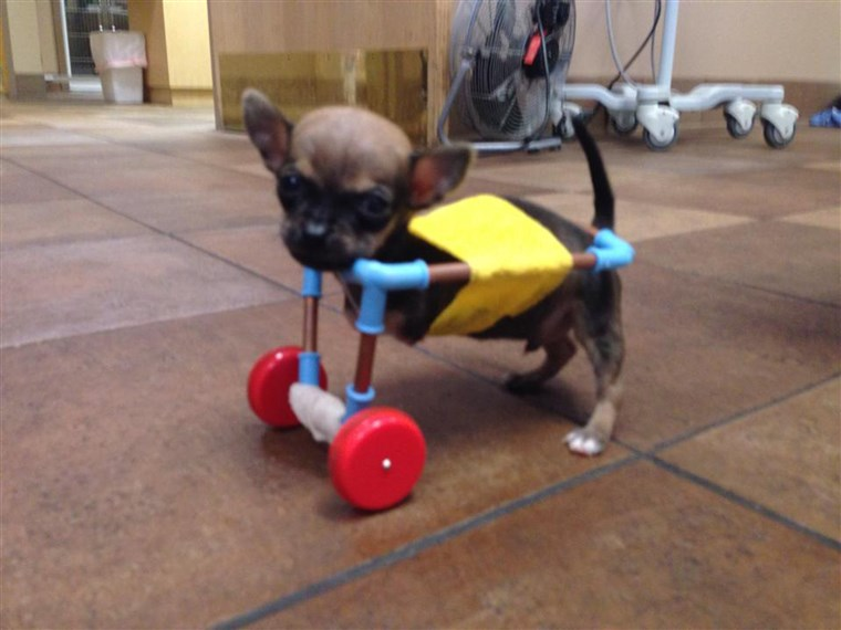 터보 the Chihuahua is shown cruising around in a cart custom-made from toy parts.