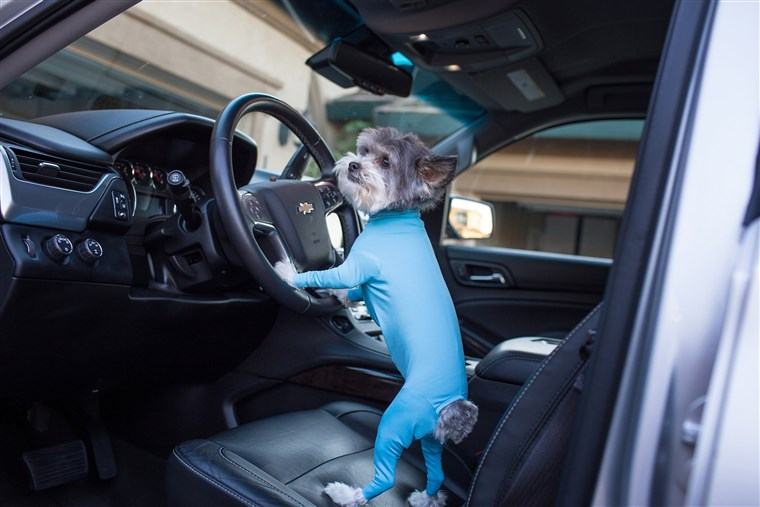 Cane leotards can keep your car clean and make your dog look even more ridiculously cute.