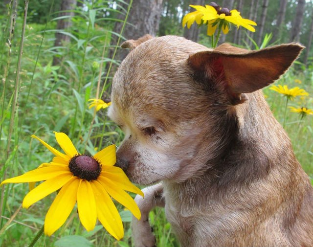 Harley the dog smelling a flower