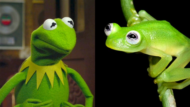 개구리 that looks similar to Kermit the frog
