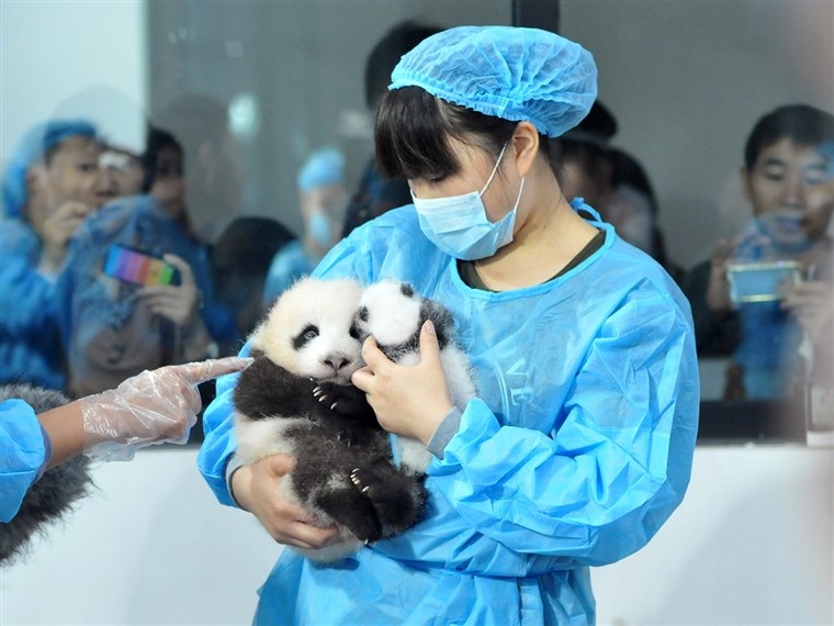 Personale lay panda cubs on a bed for members of the public to view at Chengdu Research Base for Giant Panda Breeding on September 23, 2013 in Chengdu, Sichuan Province of China.