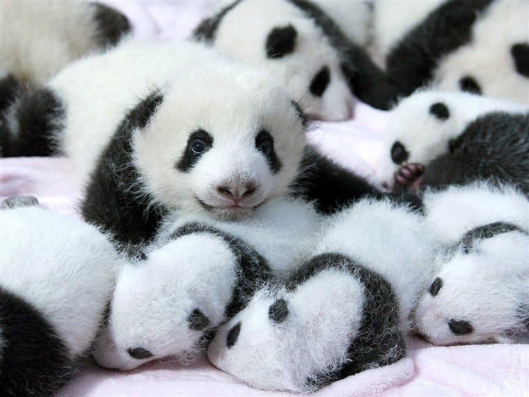 Gigante panda cubs lie in a crib at Chengdu Research Base of Giant Panda Breeding in Chengdu, Sichuan province, September 23, 2013.