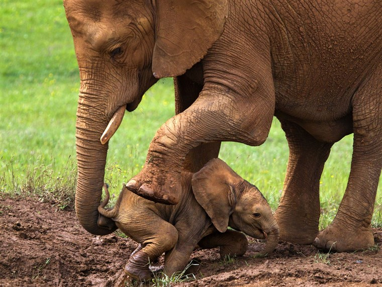 UN mother elephant helps her baby escape from sinking into a mud hole.