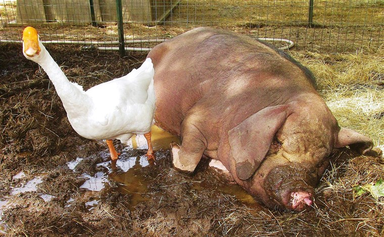 そして why wouldn't a goose and pig be best friends?